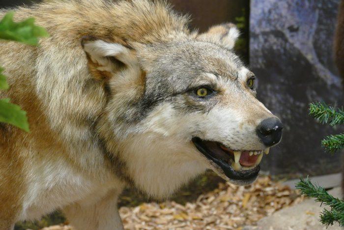 Wolf-Präparat
