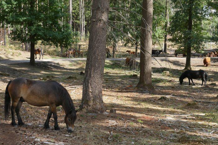 Exmoor-Ponys